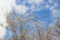 户外的樱桃花