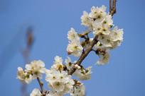 洁白的樱桃花