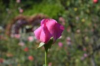 即将盛开的红色玫瑰花