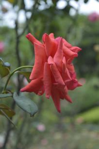 可药用植物红月季