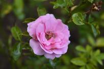 浪漫美丽的粉红色月季花