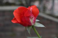 浪漫美丽的红色玫瑰花