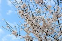 蓝天下的樱桃花
