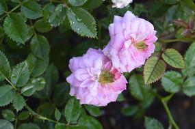 两朵浅粉色微型月季花