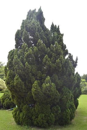 绿色高高的龙柏树