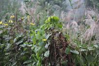 茅家埠芦苇与黄花