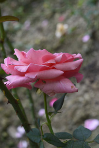 美丽典雅的粉红月季花