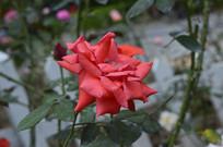 美丽高贵的红月季花