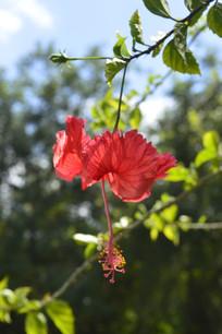 逆光下美丽的红扶桑花