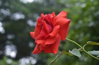 浓郁红色玫瑰花