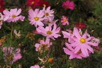 钱塘江边粉色花朵