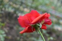 深红色玫瑰花摄影图