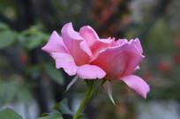 桃红色花卉月季花