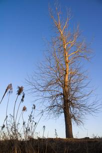 夕照中的一棵树