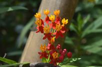 绚丽的红黄色花朵马利筋