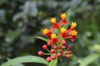 艳丽的红黄色花朵马利筋