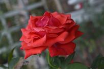 药用植物红月季