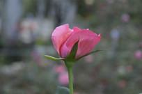 一朵粉红色玫瑰花图片