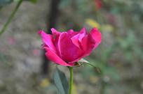 一朵玫红色玫瑰花