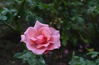一朵美丽的粉红色玫瑰花