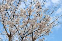 樱桃花盛开