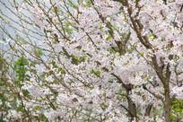 一片洁白的樱花
