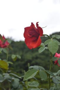 一枝鲜艳的红色玫瑰花