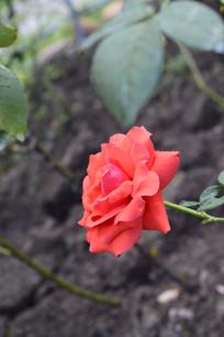 园林绿化-花卉月季花