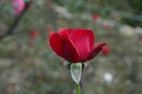 云台花园红玫瑰