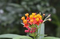 攒簇盛开的马利筋花朵