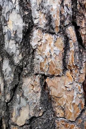 樟子松树皮