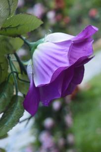 紫色假月季花