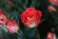 钻石玫瑰的花与花骨朵