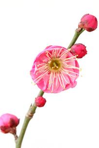 白背景上的红梅花朵