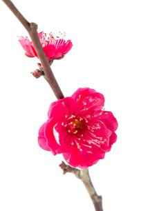 白色背景上鲜艳的红梅花儿