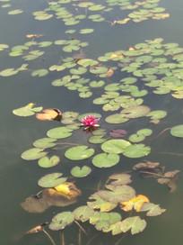 池塘中的荷花