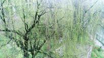 春天发芽的柳树
