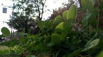 低视角拍摄三叶草细节