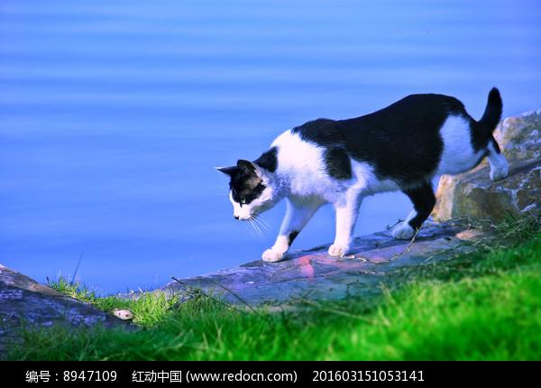 湖边的黑白猫图片
