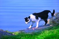 湖边的黑白猫