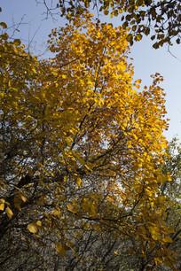 秋季的黄叶树