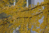 泰国黄叶树
