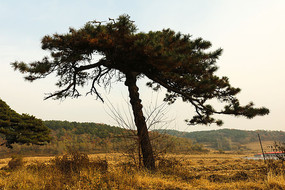 田地中一棵松树