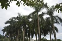 一排棕榈科树木