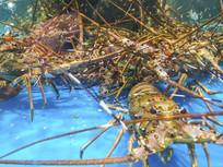 澳洲海鲜大虾