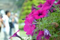 八达岭长城的鲜花
