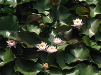 层叠的荷叶中的粉色睡莲