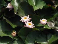 池塘里的粉色睡莲