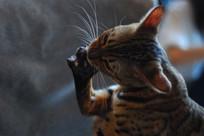 吃爪子的猫咪