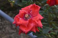 古典红色月季花